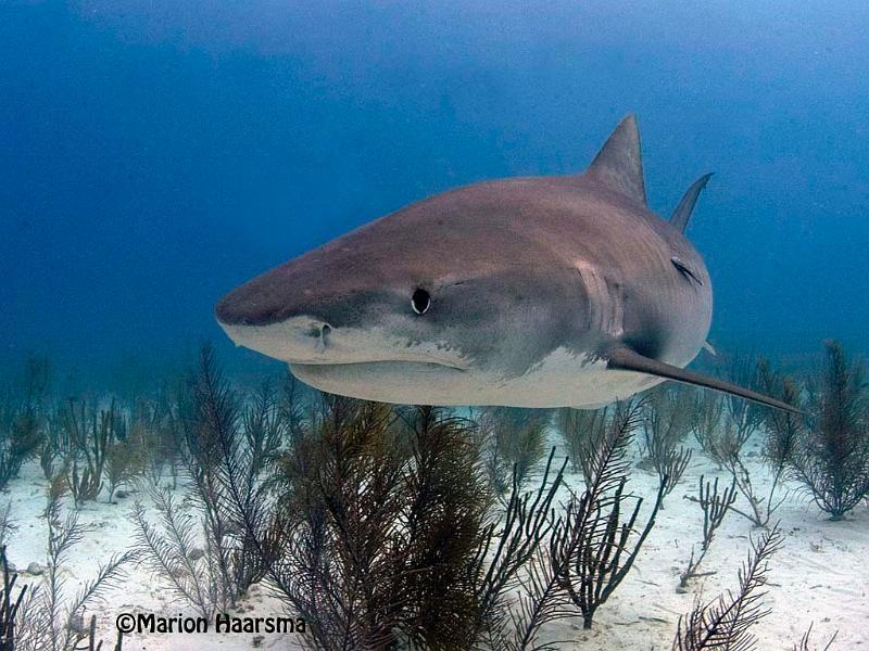 tiger shark 1280x800 - photo #27