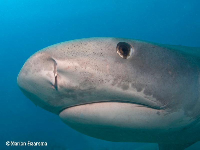 tiger shark 1280x800 - photo #11